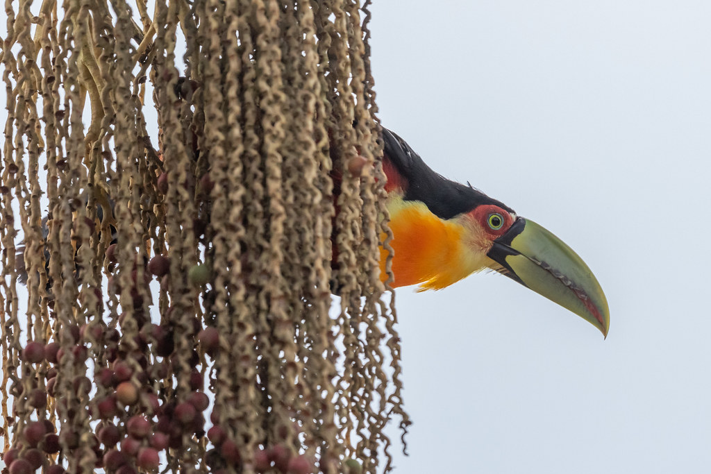 Red-breasted Toucan or Green-billed Toucan (Ramphastos dicolorus)