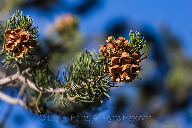Pinyon Pine Cones and Branches in the Sacramento Mountains
