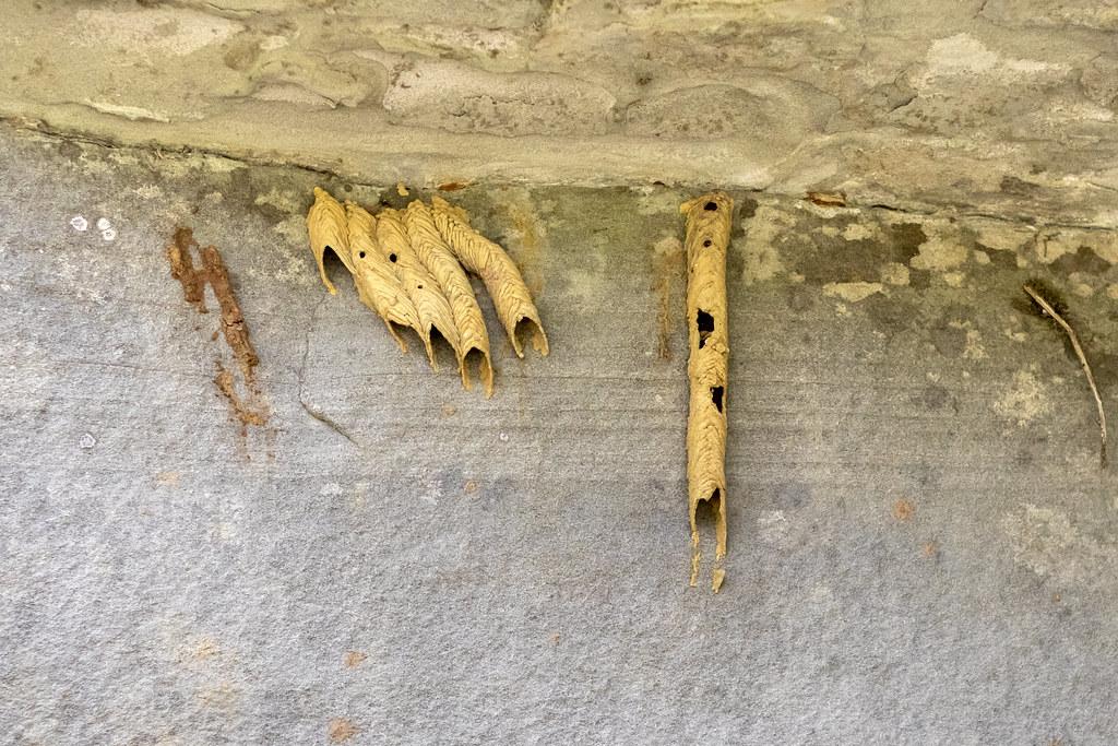 Trypoxylon politum nest, Big South Fork NRRA, Scott County, Tennessee