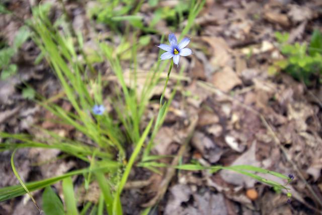 Sisyrinchium angustifolium, Big South Fork NRRA, Scott County, Tennessee