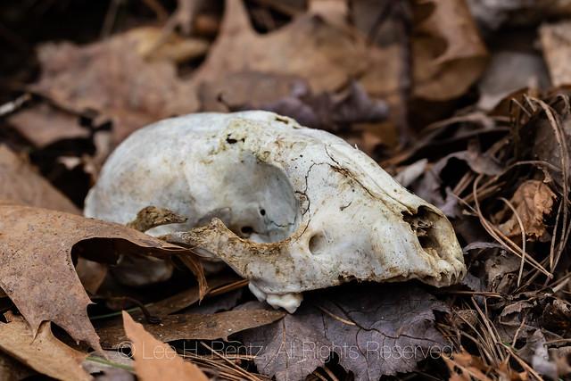 Mammal Skull in Michigan