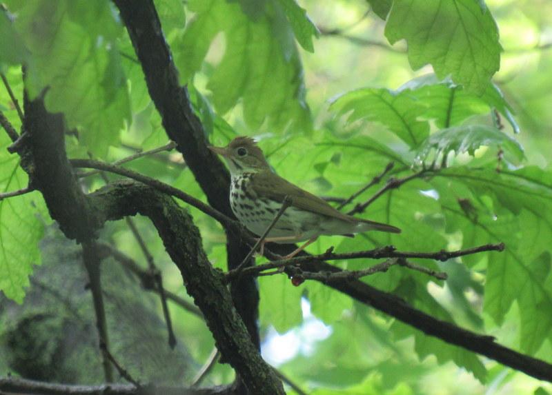 Ovenbird @ lick creek
