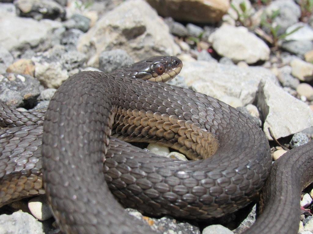 Graham's Crayfish Snake, MP