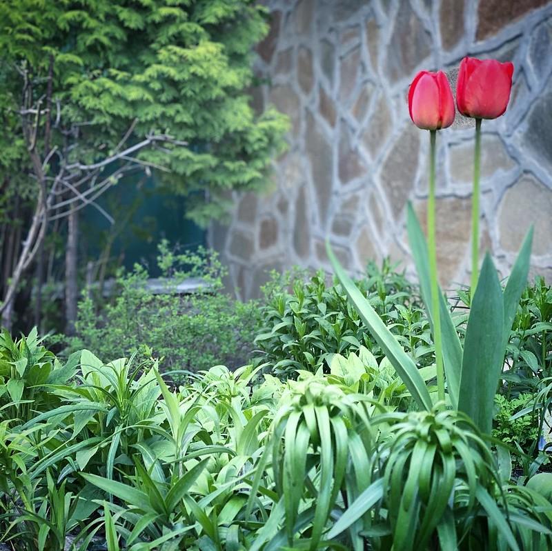 История первого тюльпана