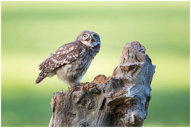 Little owl (juvenile) - Steenuil (juveniel) (Athene noctua) ....