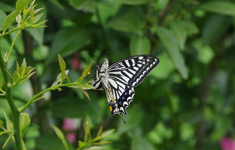 Papilio xuthus, egg laying