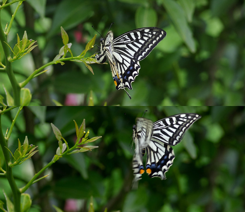 Papilio xuthus, egg laying