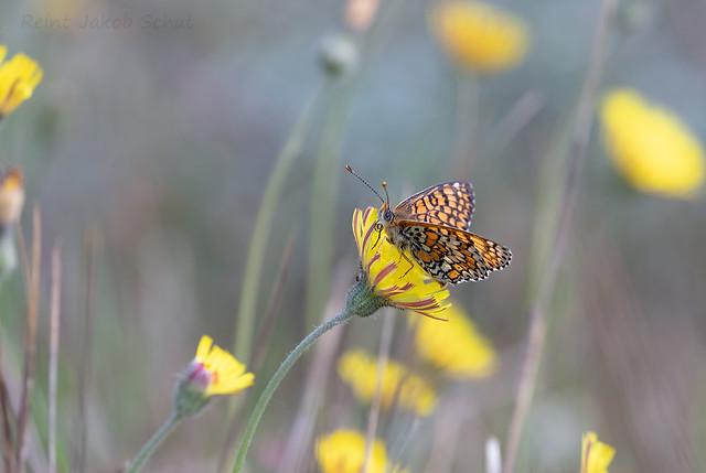 Veldparelmoervlinders - Glanville Fritillary - Papilio cinxia