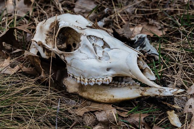 White-tailed Deer Skull in Michigan