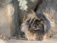 Abyssinian guinea pigs with dark coat