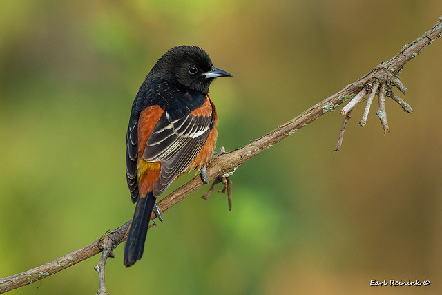 Orchard Oriole - back view