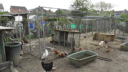 chicken run May 20