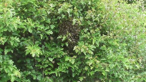bee swarm May 20 (1)