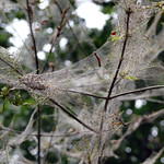 Web in tree