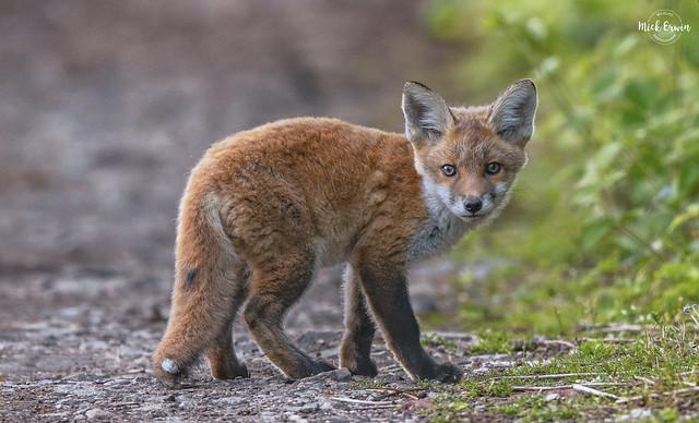 Fox Cub (approx 8 weeks old)