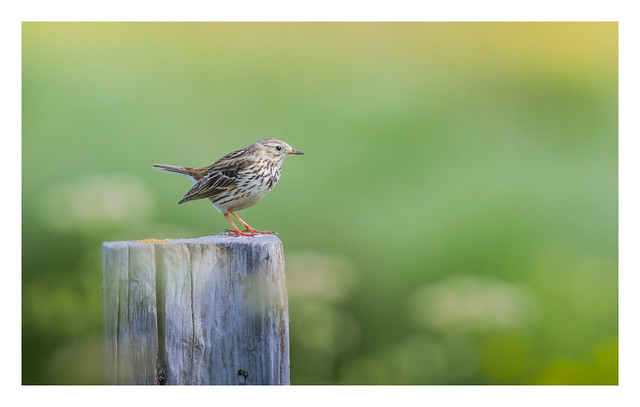 Meadow Pipit - (Anthus pratensis) Double click for large