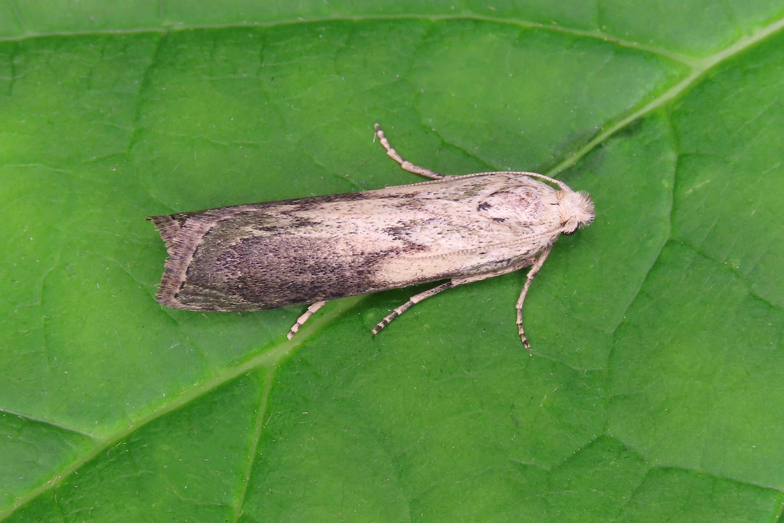 62.001 Bee Moth - Aphomia sociella