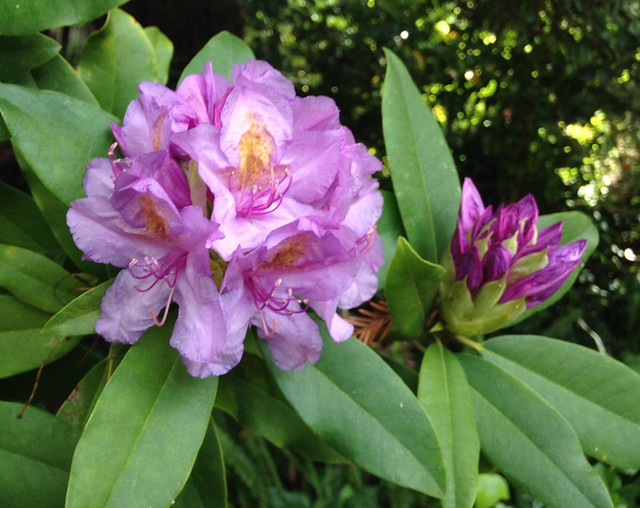 Rhododendron - Pacific Blue