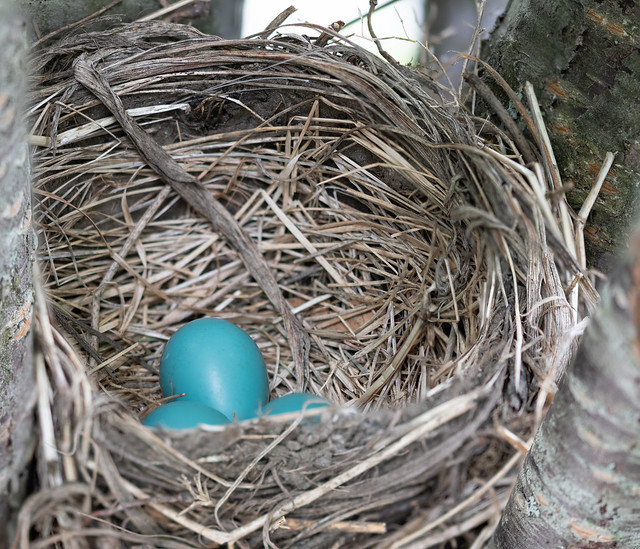 Robin Nest with 3 eggs