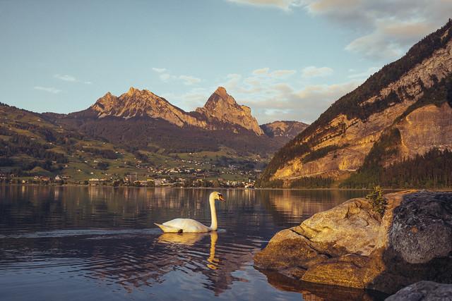Swan drifting through - Lauerz, Switzerland