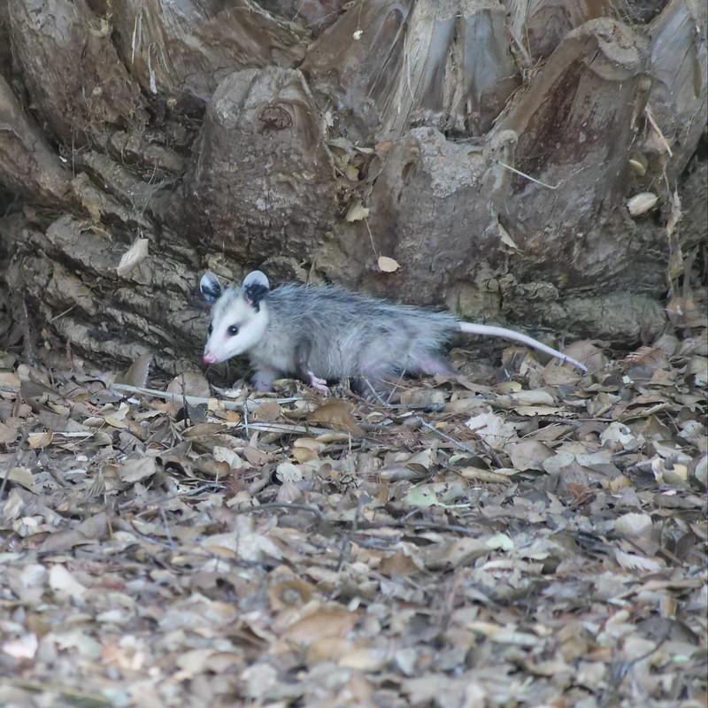 Possum seeking