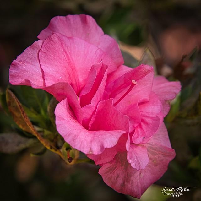 IMG_3890 Pink Azalea L4