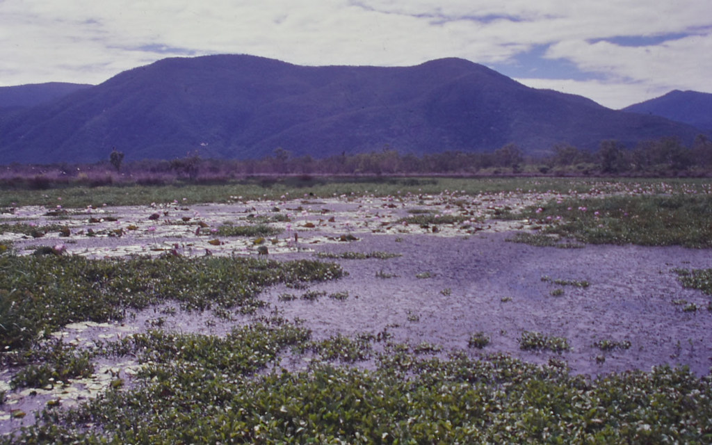 Lagoon with Eichhornia crassipes and Nymphaea ?, Serpentine Lagoon, south of Townsville, QLD, 25/04/99