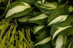 Hosta with Varigated Grass