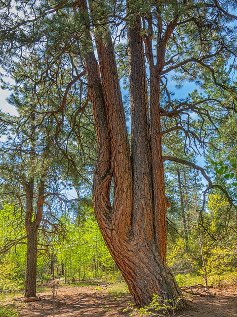 unusual ponderosa with four trees in one