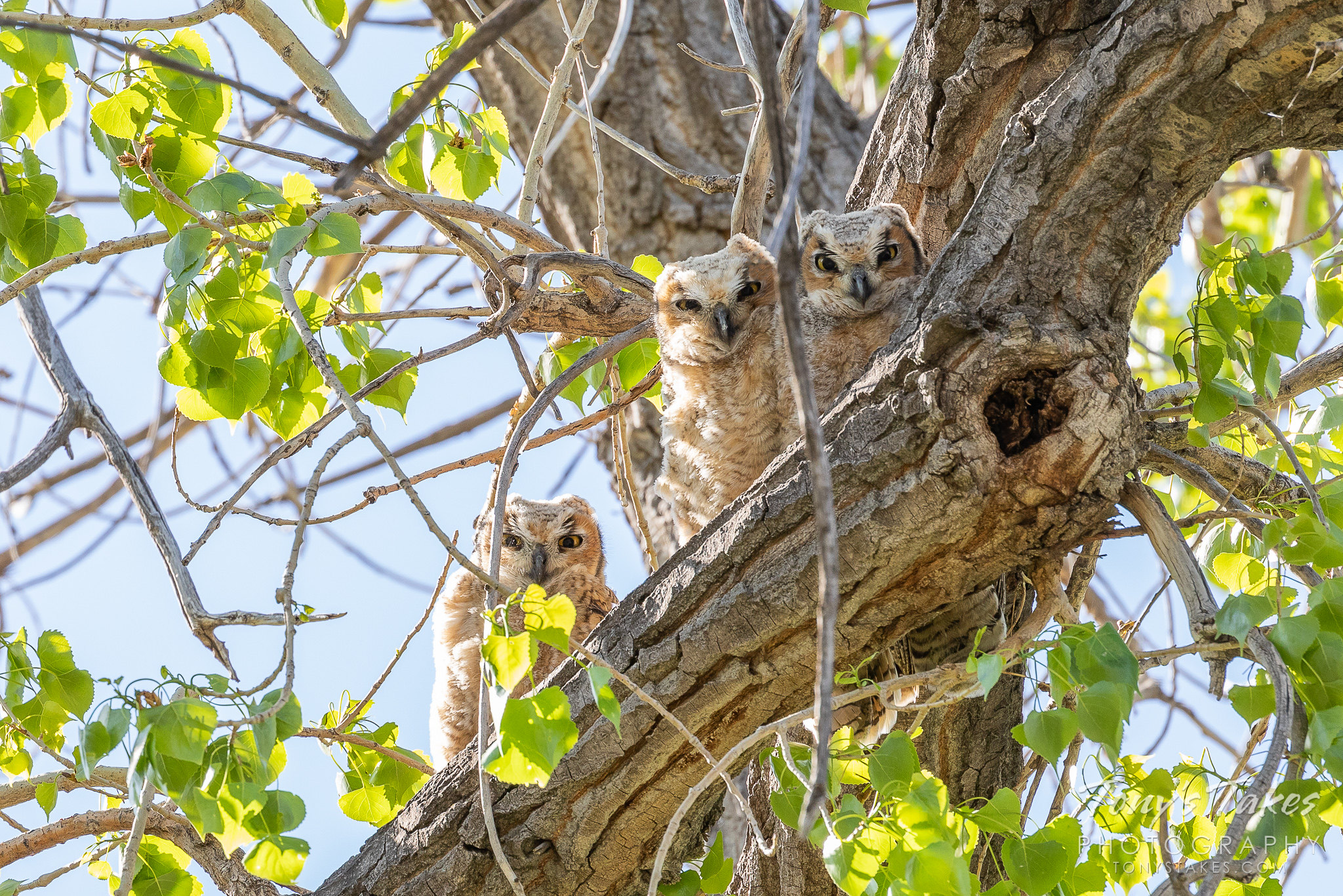 A trio of great horned owlets hangs out in Colorado. (© Tony's Takes)