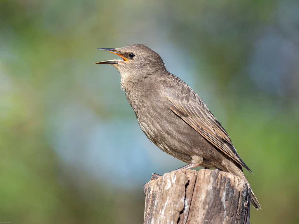 Fledgling - starling