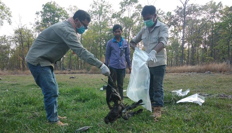 社區護管員正在處理大䴉屍體。圖片來源:WCS