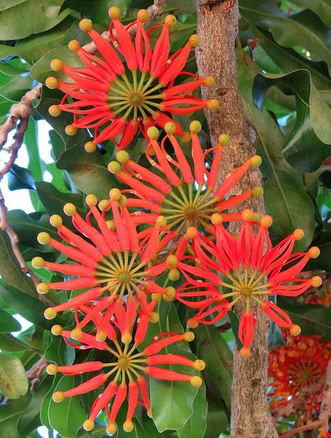 Australian 'Firewheel' Tree  -  buds