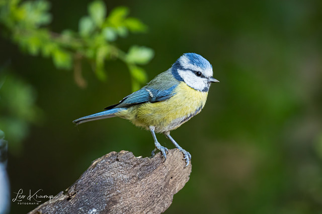 Eurasian blue tit   Pimpelmees