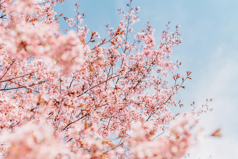 Kirsikat2