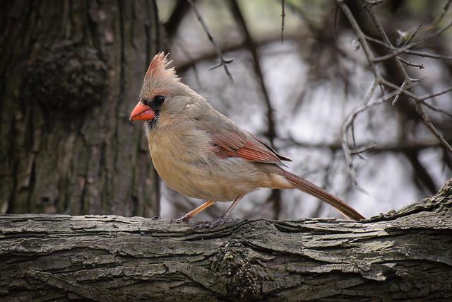 Female Cardinal - 6860