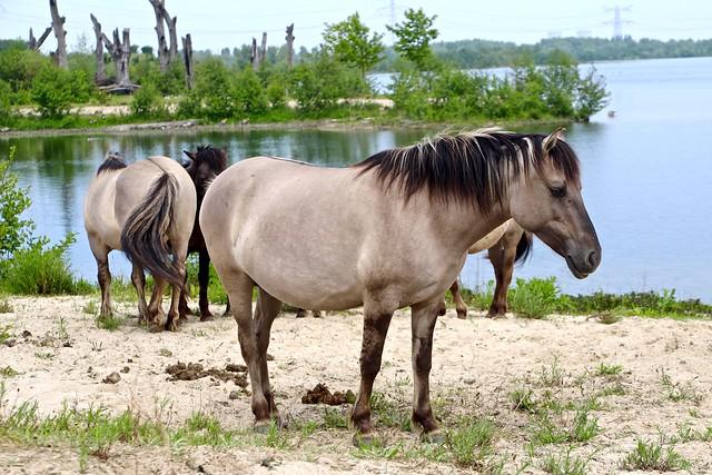 Konikpaarden / Molenplas / Stevensweert