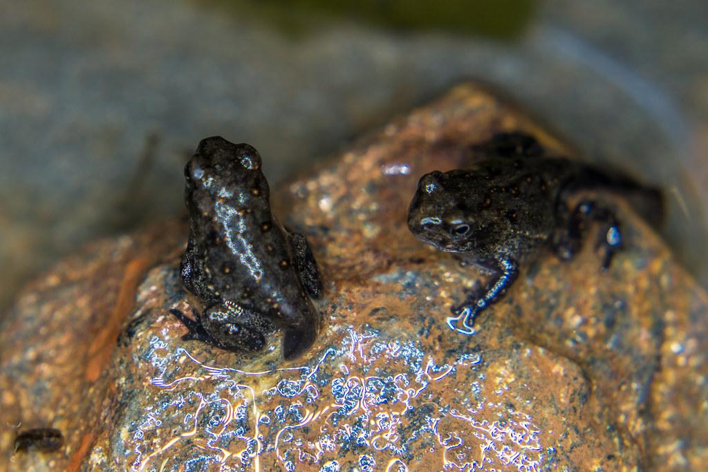 Froglets