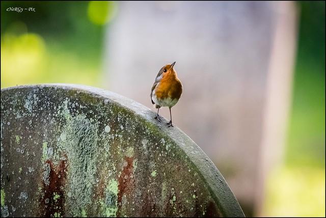 Robin on a Headstone