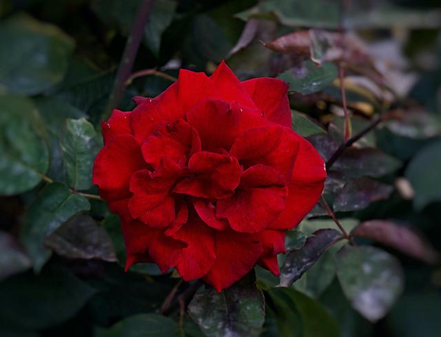 El Momento Va de Rosas, Rose, de Barrio