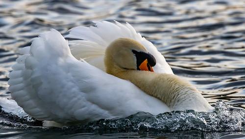Mute Swan Sailing
