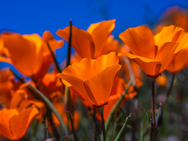 Macro Fuji GFX100 Photography! Antelope Valley Poppy Reserve California Wildflower Superbloom Fine Art Landscape Photography! Fujifilm Medium Format Fine Art Nature Photos! McGucken 45EPIC Fuji GFX 100 & FUJIFILM GF 120mm f/4 Macro R LM OIS WR Lens