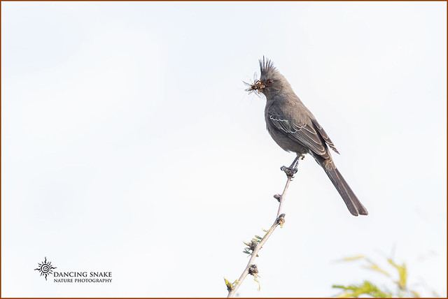 _03A8516 Phainopepla ©Dancing Snake Nature Photography