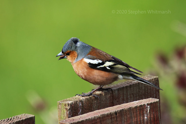 Chaffinch on the Fence