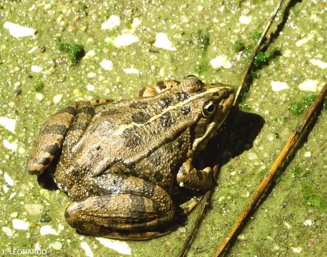 RÃ-VERDE  ( peliphylax perezi )