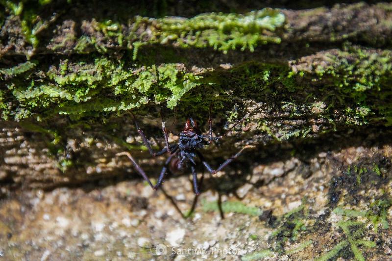 Hormiga cortadora en la selva de la Catarata Río Fortuna