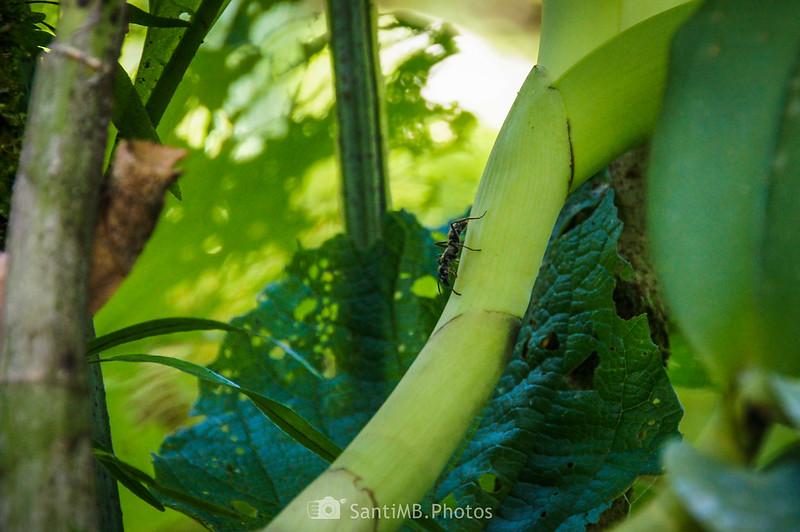 Hormiga en la selva de la Catarata Río Fortuna