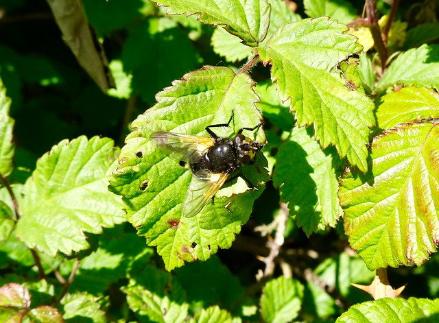 Tachina Grossa ?, Shop Lock, Monmouthshire-Brecon Canal, Ty Coch, Cwmbran 19 May 2020