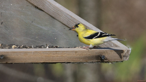 chardonneretjaune americangoldfinch carduelistristis beauce pq canada 6888 chardonneret jaune yellow oiseau bird chardonneretjaunemâle
