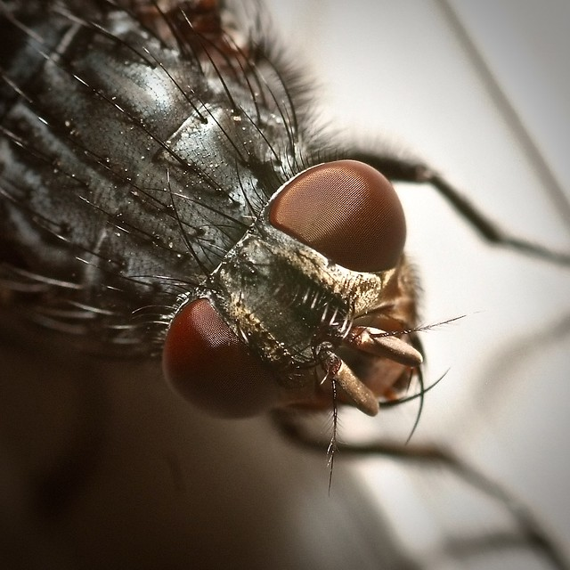 Another fly closeup